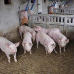 Visto bueno ambiental a una granja de casi 2.000 de cerdos de engorde de tipo intensivo