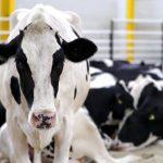 El IRTA colabora con DANONE en el bienestar de las vacas lecheras