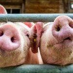Los ganaderos podría saber el bienestar de sus cerdos por reconocimiento facial