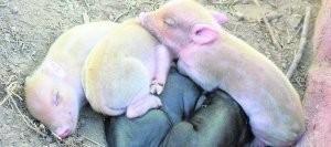 3-crias-albinas-de-cerdo-nacen-en-la-region-de-murcia