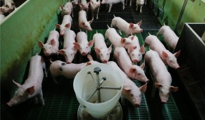 Brasil aprueba un nuevo modelo de inspección en mataderos de cerdos