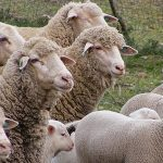Desarrollan un innovador producto lácteo con leche de ovejas alimentadas con chía