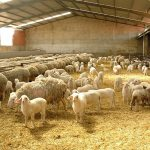 Nuevo protocolo de reproducción para el ganado ovino sin hormonas sintéticas