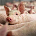Científicos chinos modifican los genes de unos cerdos para resistir a la peste porcina