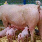 Alemania propone normas más estrictas de bienestar de las cerdas