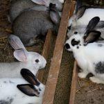 Nuevas estrategias para reducir la resistencia a los antibióticos en pollos y conejos