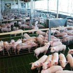 Se reducen a la mitad las emisiones de amoniaco por kilo de carne de porcino producida