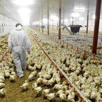 Proyecto para controlar infecciones bacterianas en granjas avícolas
