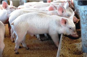 La fortaleza del porcino y la caída del precio de los piensos evitan el desplome de la Renta Agraria por la grave sequía