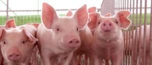 Nuevas normas en la clasificación de canales de porcino
