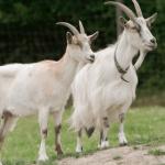 Análisis de resistencias al scrapie en razas autóctonas de cabras sin cruzamientos