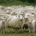 El Grupo Operativo Filotat estudia el empleo de la tecnología NIR para la medición de la calidad de la lana