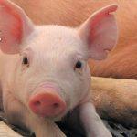 Guijuelo aprovechará los residuos del cerdo para crear biocombustible