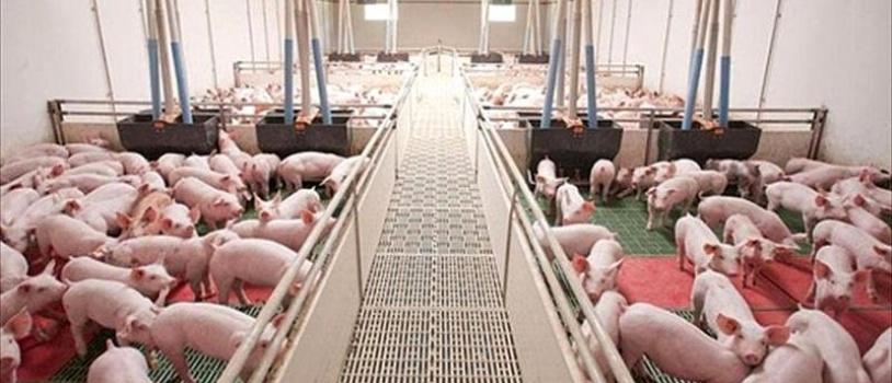 Un nuevo dispositivo portátil y de bajo coste permitirá detectar en diez minutos brotes de enfermedades infecciosas en granjas porcinas