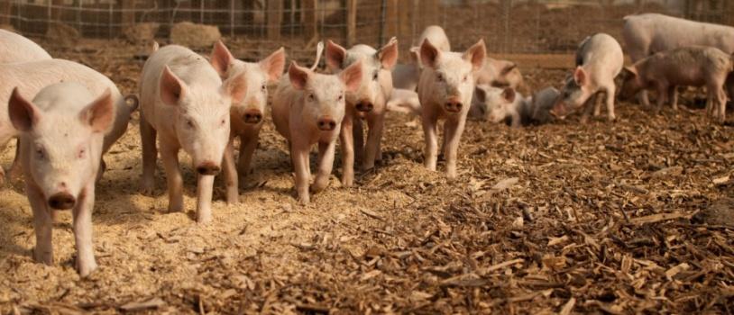 Sofisticación en las granjas porcinas para una mayor bioseguridad, productividad y eficiencia