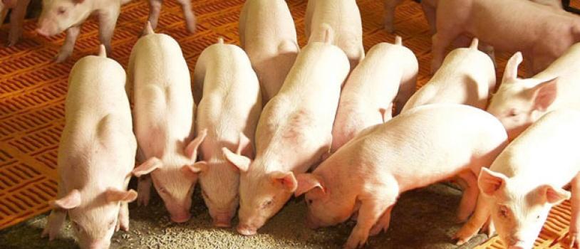 Aditivos en los piensos de cerdos como alternativa a los antibióticos