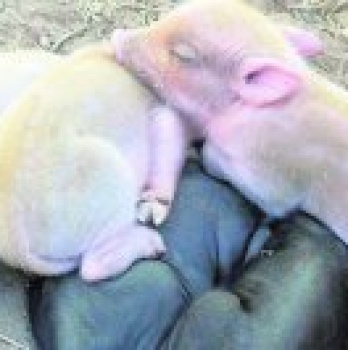 3 crias albinas de cerdo nacen en la Region de Murcia