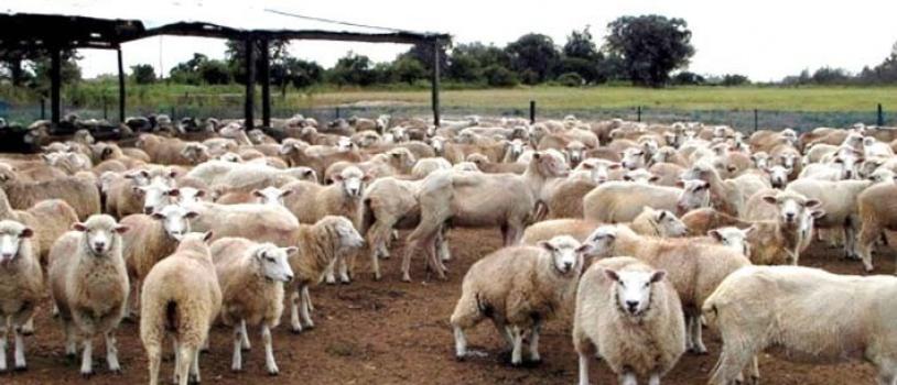 Investigan protocolos reproductivos en ganado ovino sin hormonas sintéticas