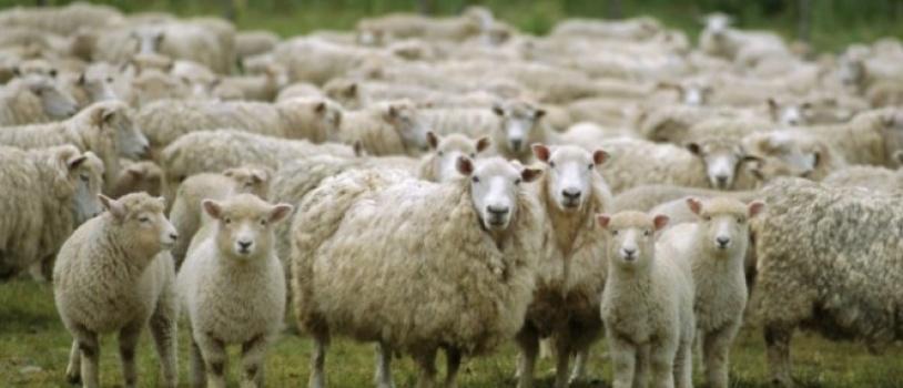 (Español) El Grupo Operativo Filotat estudia el empleo de la tecnología NIR para la medición de la calidad de la lana