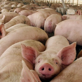 China confirma que no existen restricciones para la carne de cerdos vacunados con Improvac®
