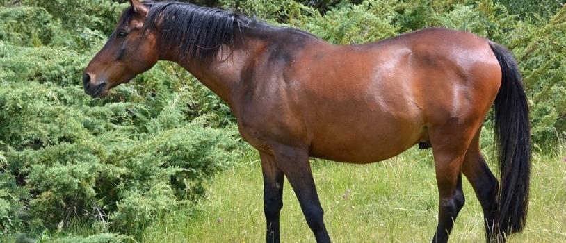 Los caballos de Pura Sangre Lusitano han adaptado su morfología para ser más competitivos