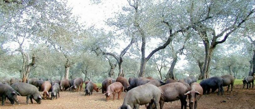 Aprobados movimientos excepcionales de aprovechamiento de montanera en Andalucía