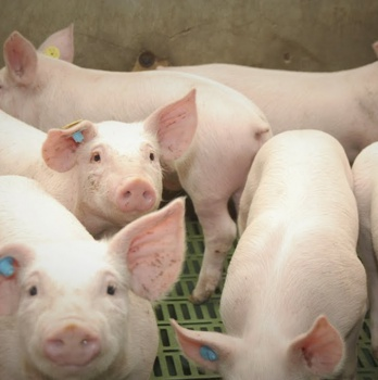 Proyecto piloto de granja inteligente de porcino