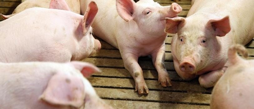 El sector porcino sigue avanzando en la reducción del consumo de colistina