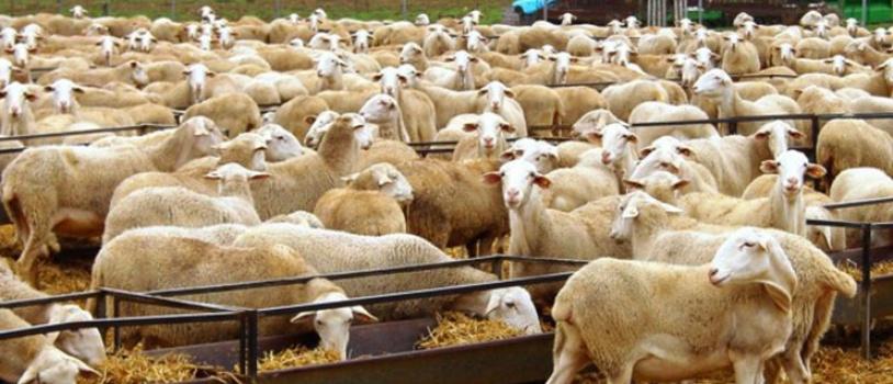 Buenas prácticas en ganaderías de ovino para reducir la utilización de antibióticos