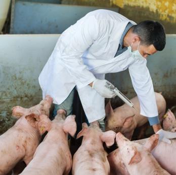 Se espera un crecimiento del mercado mundial de vacunas porcinas