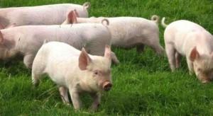 Criaderos de cerdos