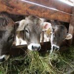 El CITA investiga cómo aprovechar los excedentes hortícolas para mejorar el perfil nutricional de la carne bovina