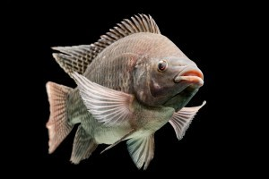 DAGNF4 Mozambique tilapia, Oreochromis mossambicus, isolated on black, studio aquarium shot.