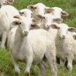 La edad y el sistema de pastoreo influyen en la prevalencia de la anaplasmosis