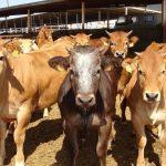 Critican el severo castigo para los ganaderos la aplicación de protocolos injustos contra la tuberculosis bovina